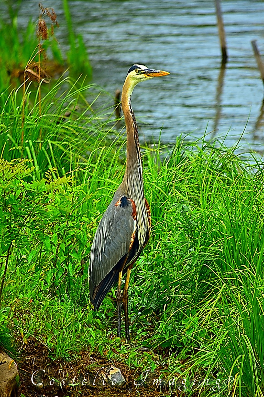 Blue Heron on standby (photo)